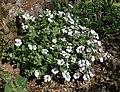 Gypsophila cerastioides.jpg