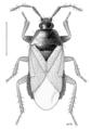 HEMI Anthocoridae Xylocoris galactinus f.png