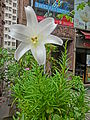 HK Mid-Levels 67 Pokfulam Road 寶林閣 Po Lam Court white flower April 2013.JPG