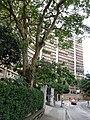 HK North Point Cloud View Road 峰景大廈 Hilltop Mansion n tree Nov-2015 DSC.JPG