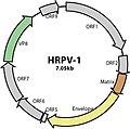 HRPV-1-GenomeMap.jpg