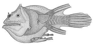 <i>Haplophryne</i> Genus of anglerfish