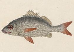 Haemulon schrankii - 1829 - Print - Iconographia Zoologica - Special Collections University of Amsterdam (cropped).tif
