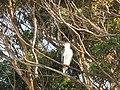 Haliaeetus leucogaster (41960125024).jpg