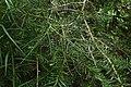 Halocarpus kirkii kz14.jpg