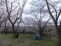 Harima Chuo park in 2013-04-07 No,10.JPG