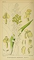 Harry Bolus - Orchids of South Africa - volume I plate 097 (1896).jpg