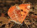 Harvester - Feniseca tarquinius, Leesylvania State Park, Woodbridge, Virginia - 24972368196.jpg