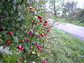 Haws by Roadside, Near Eaglesham - geograph.org.uk - 59618.jpg