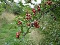 Hawthorn berries - Crataegus monogyna - geograph.org.uk - 1173274.jpg