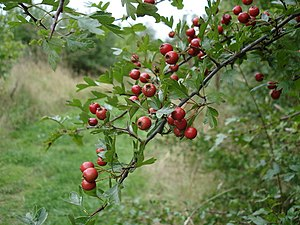 English: Hawthorn berries - Crataegus monogyna