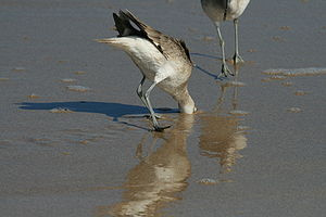English: Willet on the beach.