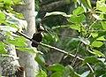 Heart-spotted Woodpecker-Hemicircus canente.JPG