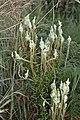 Hebenstretia sp. (Scrophulariaceae) (6932169535).jpg