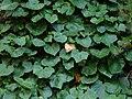 Hedera canariensis Gomera.jpg