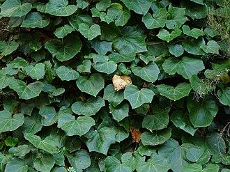 Hedera - Hedera canariensis juvenile leaves, Gomera, Canary Islands.