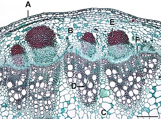 Vascular cambium - Helianthus stem in section. The cells of the vascular cambium (F)  divide to form phloem on the outside, seen located beneath the bundle cap (E), and xylem (D) on the inside. Most of the vascular cambium is here in vascular bundles (ovals of phloem and xylem together) but it is starting to join these up as at point F between the bundles.