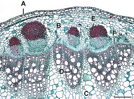 Plant Anatomy Mauseth Pdf