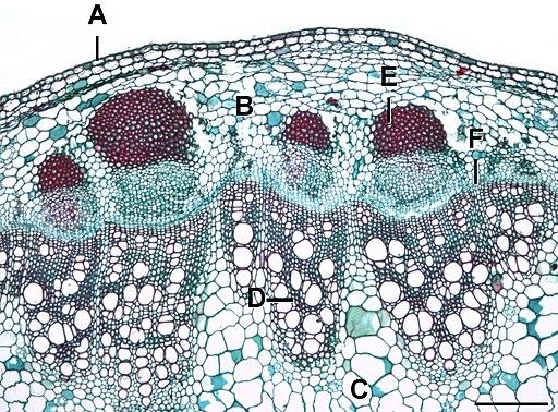 Helianthus stem 2 L