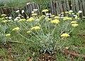 Helichrysum orientale kz07.jpg