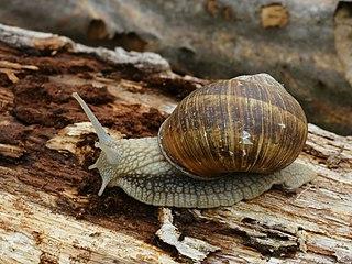 L'escargot se protège dans ESCARGOT 320px-Helix_pomatia_%28Dourbes%29