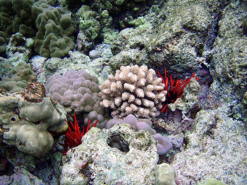 File:Heterocentrotus trigonarius in Kona.jpg