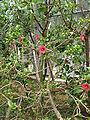 Hibiscus liliiflorus2.jpg