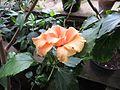 Hibiscus rosa-sinensis 'Apricut' 01.JPG