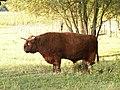Highland bull 002.jpg