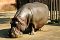Hippo at the memphis zoo.JPG