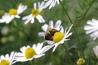 Honigbiene auf Kamillenbluete.JPG