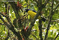 Hooded Mountain-Tanager (439427861).jpg