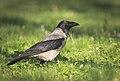 Hooded crow (33985074056).jpg