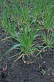 Hordeum vulgare six-row winter barley, zesrijige wintergerst (4).jpg