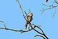 Horsfield's Bronze-Cuckoo (Chrysococcyx basalis) (30994687010).jpg