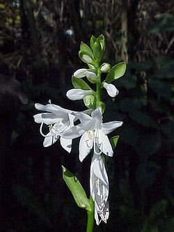 Hosta plantaginea3.jpg