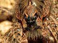 Huge Fishing Spider - Flickr - treegrow (2).jpg