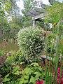 Huge hanging basket (Alyssum) (6163970123).jpg