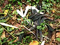 Hunting wreathed hornbill feathers IMG 8443 05.jpg