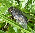 Hybomitra sp. - Flickr - gailhampshire (2).jpg