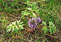 Hydrophyllum capitatum.jpg