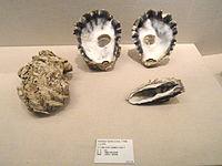 Hyotissa hyotis - Kyoto University Museum - DSC06407.JPG