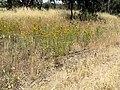 Hypericum perforatum habit10 CWS.jpg