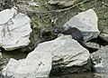 I saw a mink; he stuck his tongue out at me. (17251212339).jpg