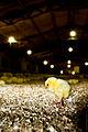 Igualdad Animal - Investigación Granjas Cerdos Toledo - Mayo 2010 1546 (7138483633).jpg
