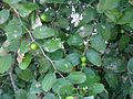 Ilandhai-tree-Indian plum tree.jpg