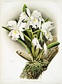 Illustration from Reichenbachia Orchids by Frederick Sander, digitally enhanced by rawpixel-com 085.jpg