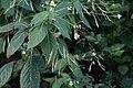 Impatiens parviflora 17 TK 2021-07-31.jpg