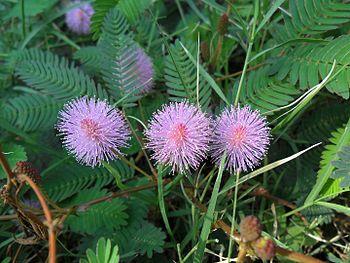 Ind flora.jpg