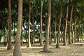 India - TN - 11-01 - The Farm - 14 - Coconut grove (5444831031).jpg